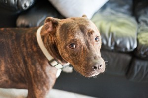 brown pit bull mix dog