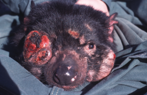 Tasmanian Devil facial tumor cancer
