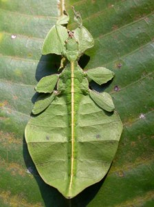 praying mantis leaf insect, Phyllium bioculatum